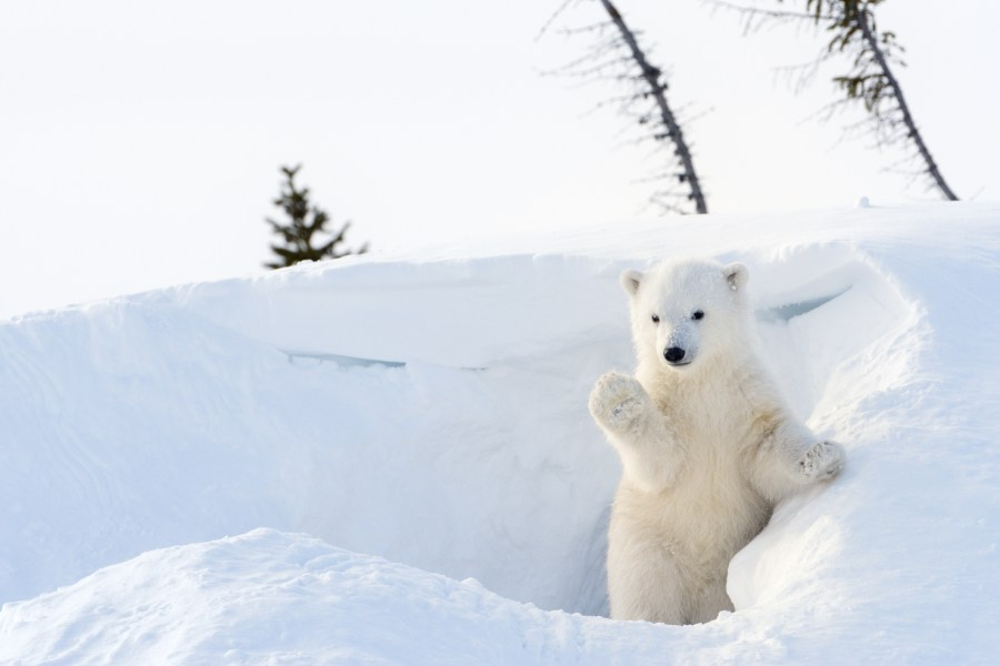 Polar bear cub emerging from snow covered den, waving paw to camera.