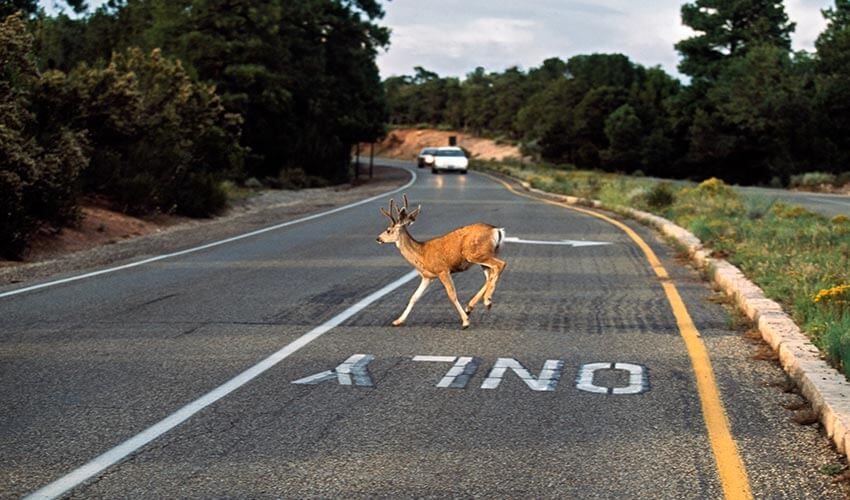 A deer crossing a road.