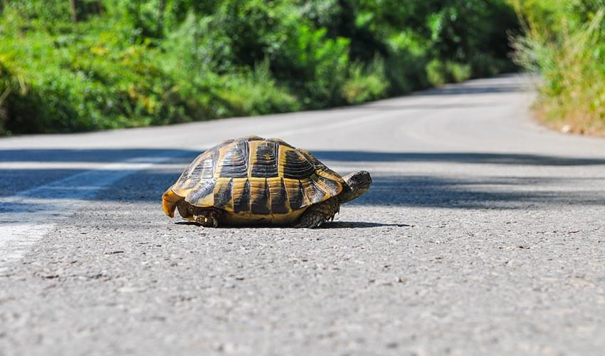 A turtle crossing a road.