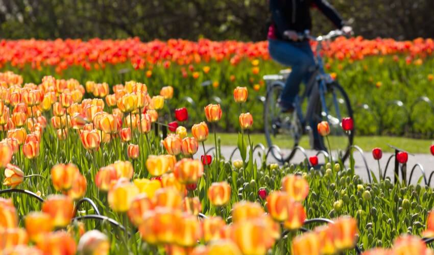 Cyclist riding past a bed of tulips.
