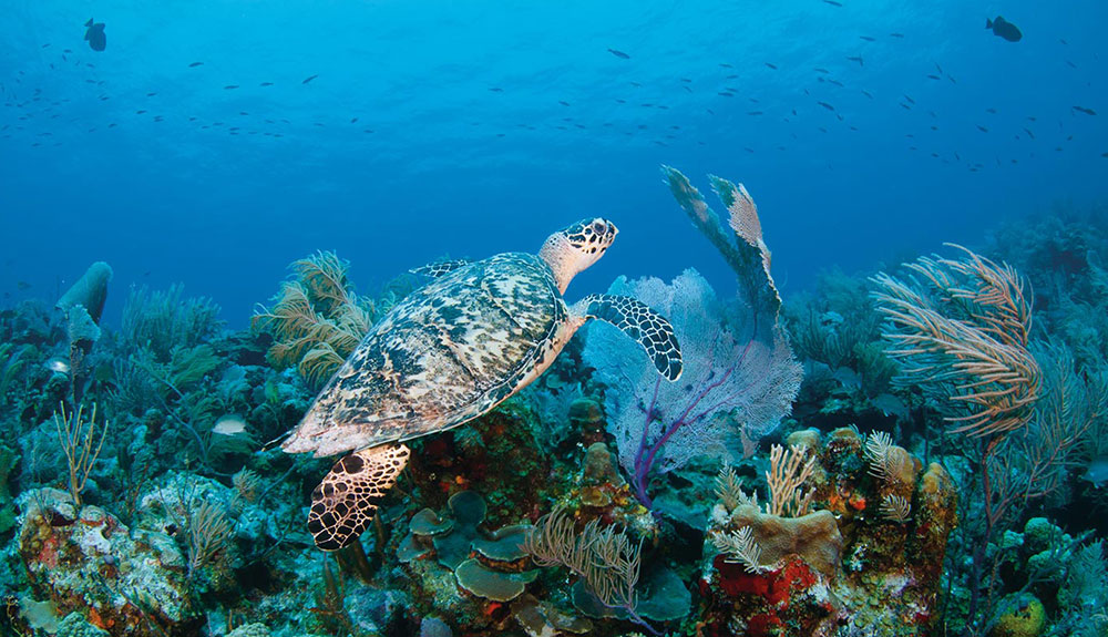 Underwater shot of sea turtle swimming towards the surface as he passes by beautiful coral