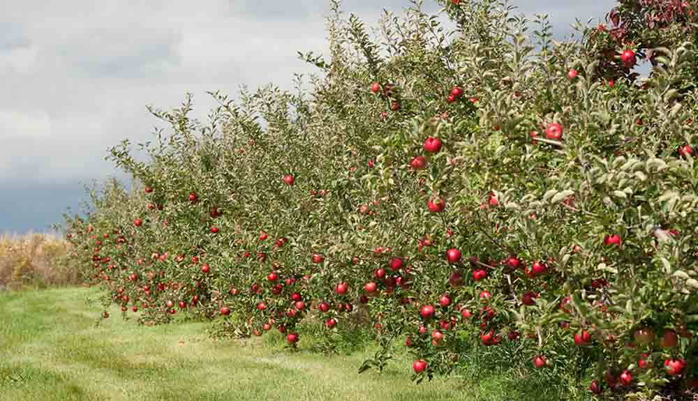 A row of apple trees with ripe red apples