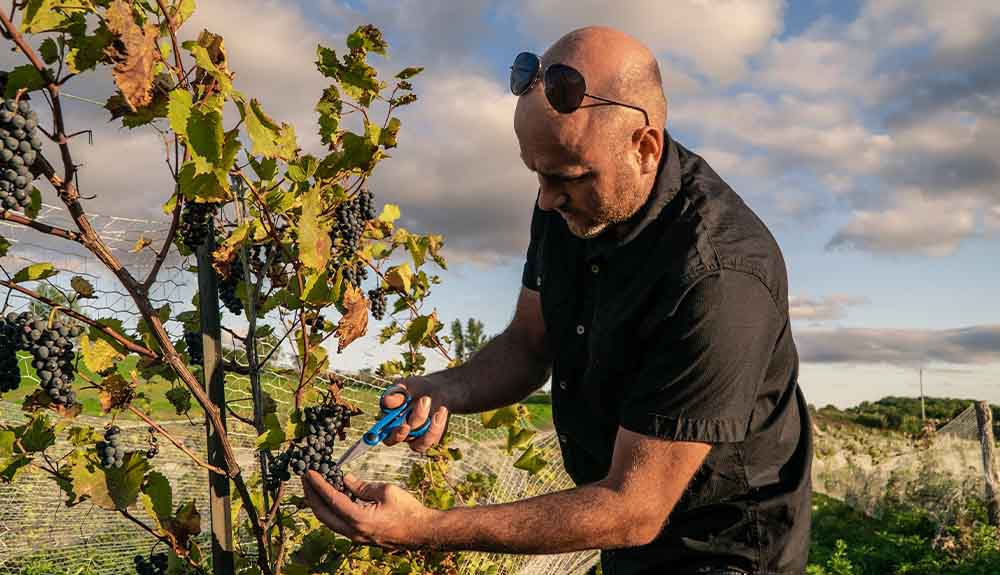 A man is shown snipping grapes from a vine