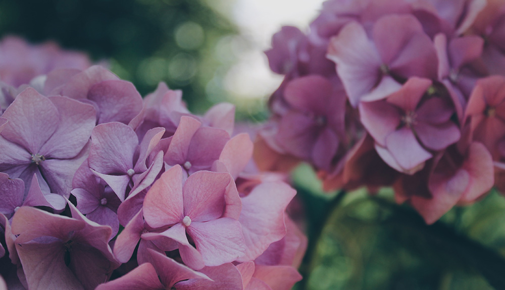 A closeup of purple hydrangeas