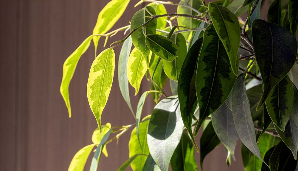 A closeup view of a ficus plant.