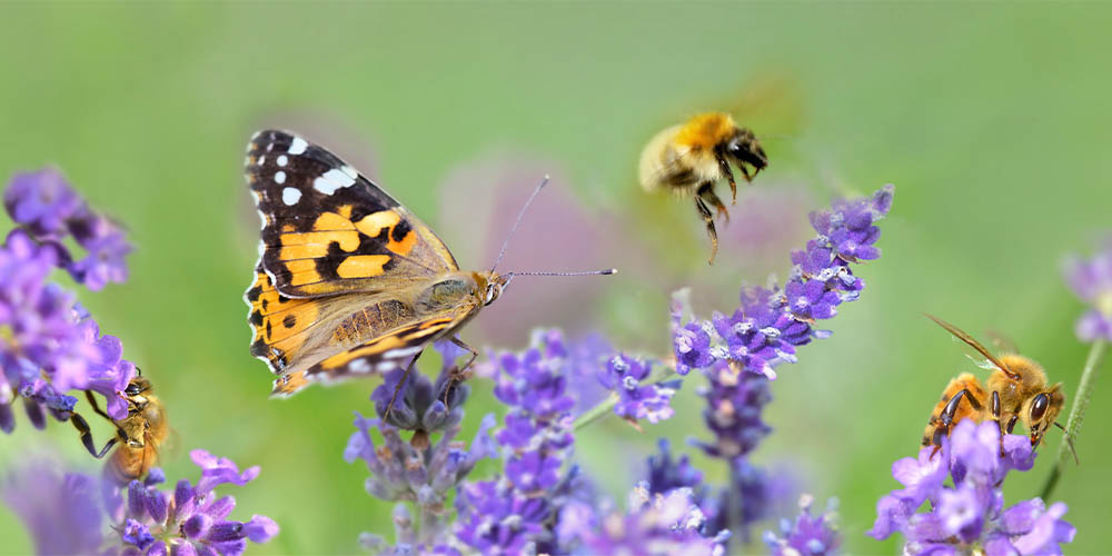 A monarch butterfly and a few bees hover over some purple flowers