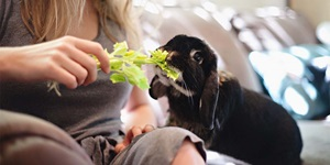 A dark brown rabbit is shown eating a leafy celery stick held by a woman