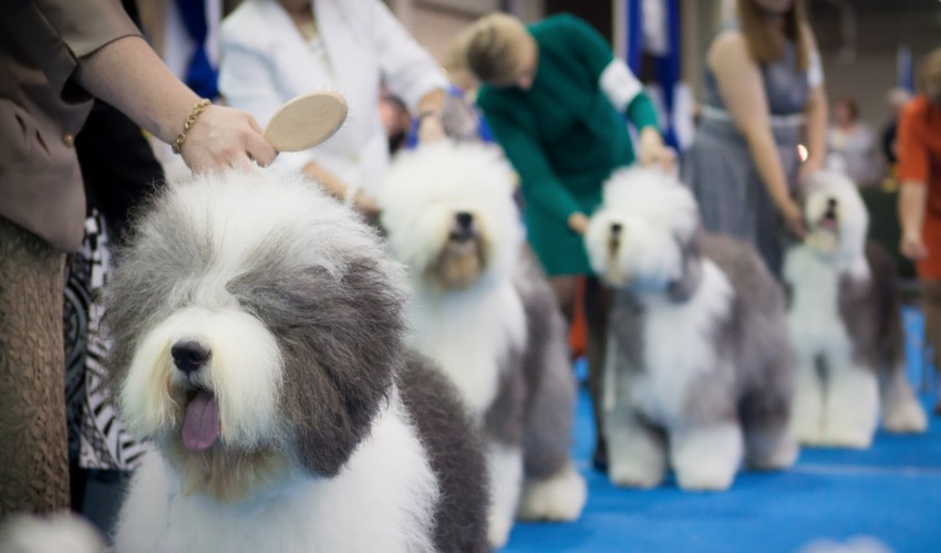 English Sheepdogs in dog show