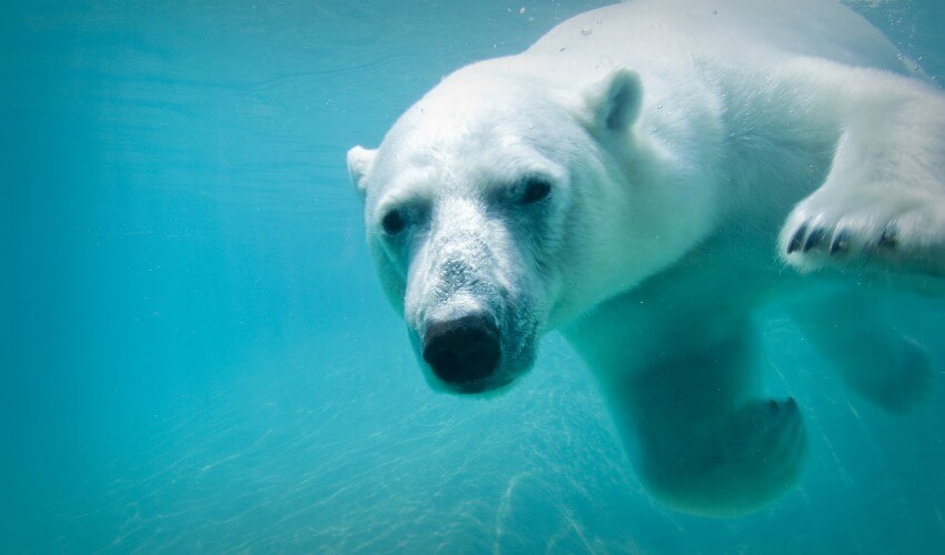 White polar bear swimming.