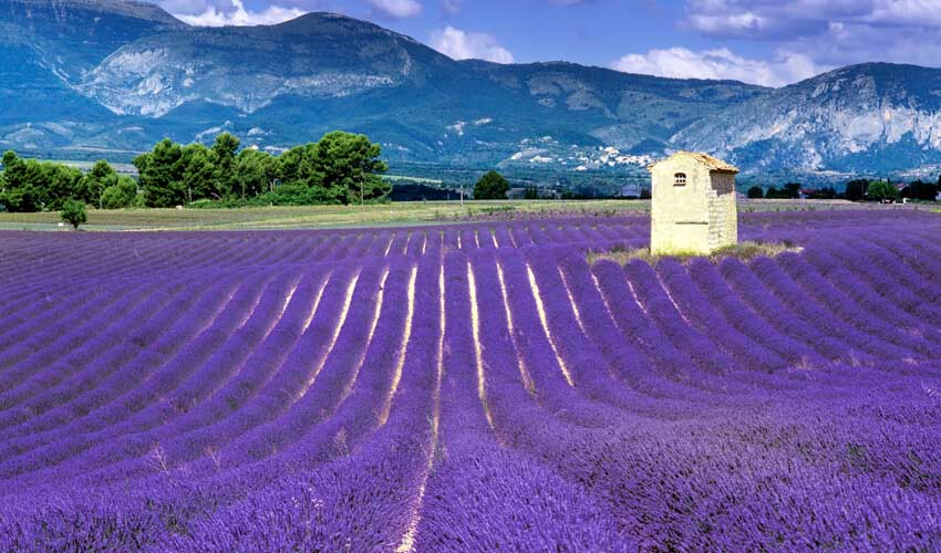 Brilliant purple lavender fields in sunny Provence, with French Alps towering in the distance.