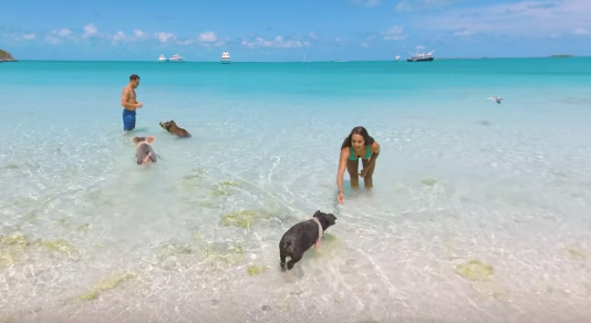 Couple swimming with pigs