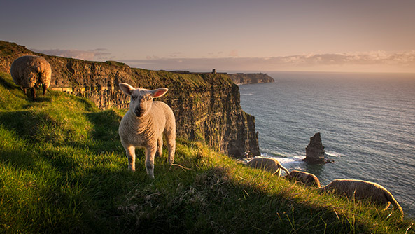 Sheeps on cliffs, Liscannor Ireland