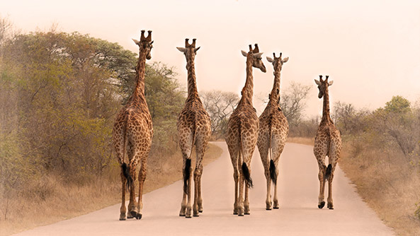 Five giraffes on the road in South Africa