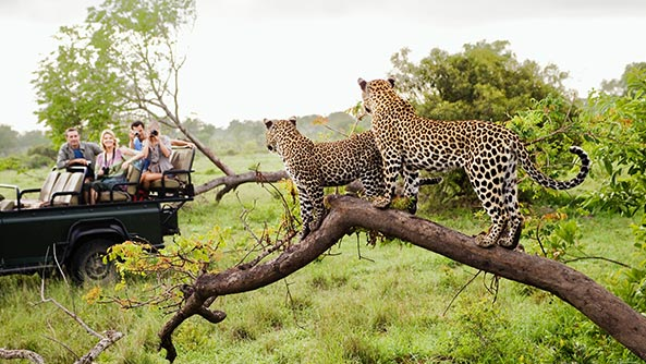 Two leopards on tree watching tourists in a Jeep, in an African Safari