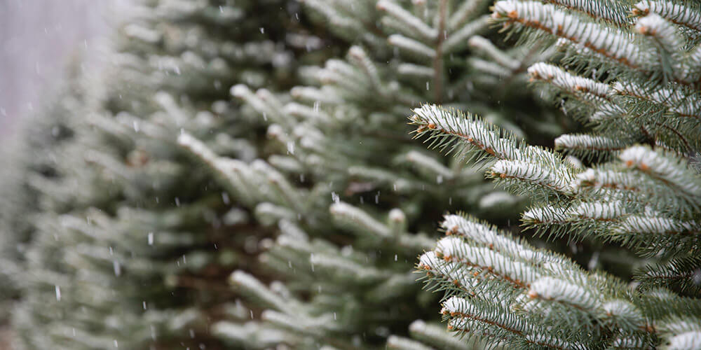 The Best Places to Cut Your Own Christmas Tree in the GTA